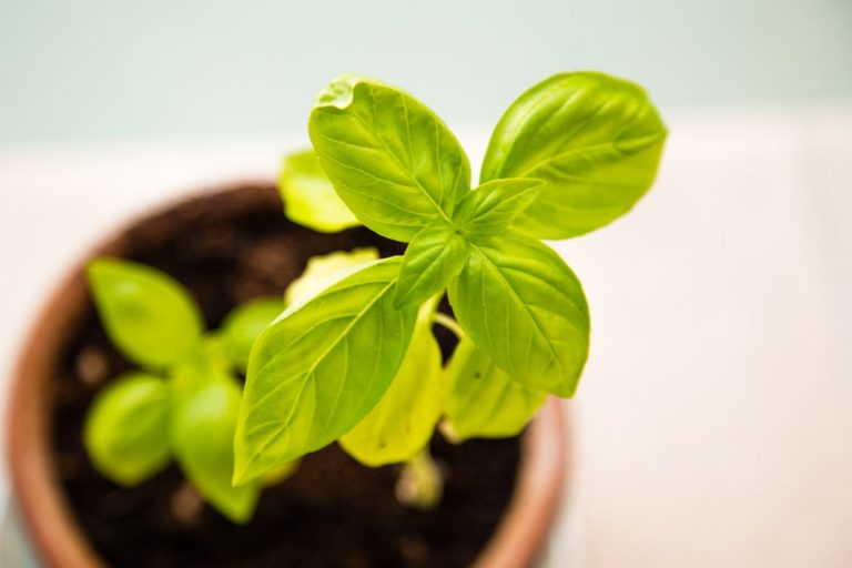 Basil: What's not to Love?